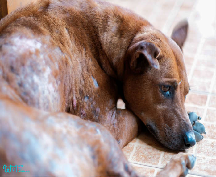 Mange in Dogs – Is there a Treatment?
