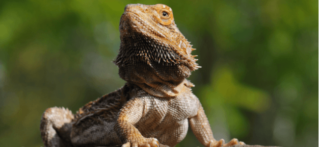 Guide for Bearded Dragon Care
