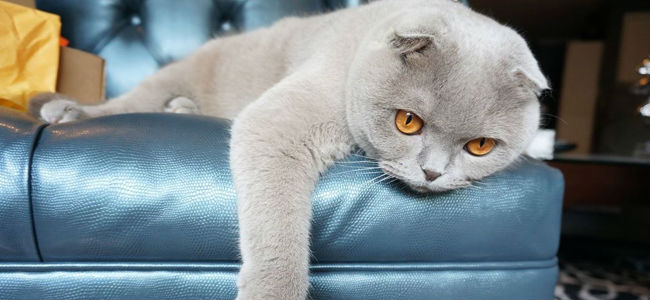 Scottish Fold - Facts, History, and Health Problems