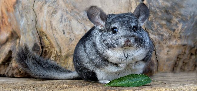 A Guide to Caring For Chinchillas