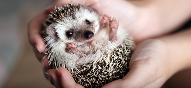 Hands are holding hedgehog