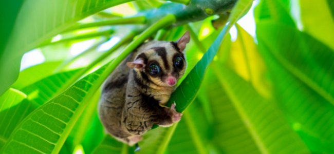 Sugar Gliders As Pets - Care Guide