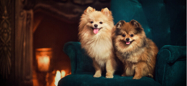 two dogs a Pomeranian sitting on a chair by the fireplace