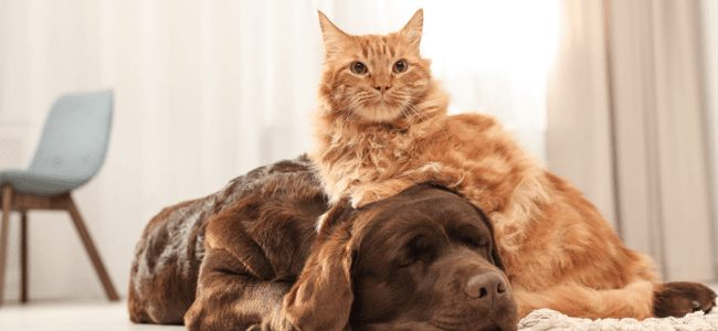 Cat sits on a sleeping brown dog