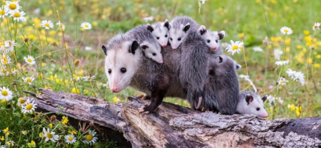Take Care of an Opossum